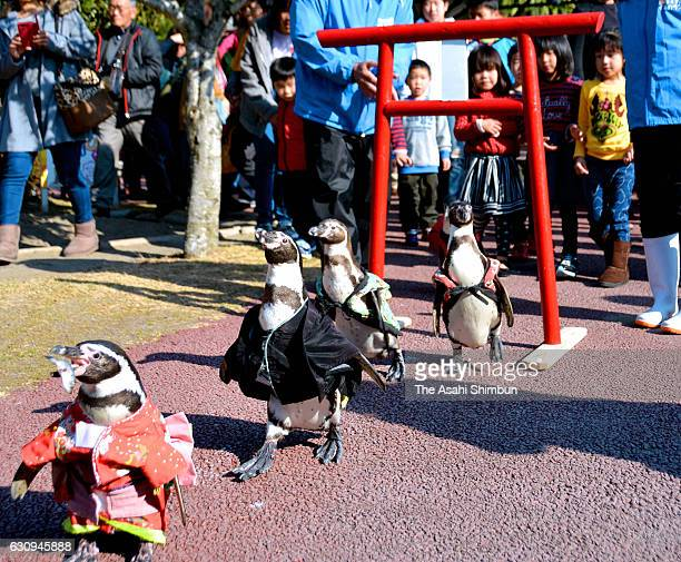 Penguins wearing New Year costumes walk under a shrine gate at Shibushiwan Daikoku Dolphin Land on January 2 2017 in Kushima Miyazaki Japan