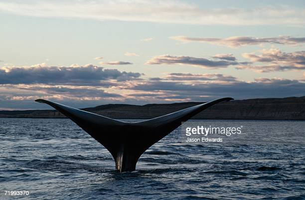 Peninsula Valdez, Argentina. The tail of a southern right whale, Eubalaena australis, at sunset.