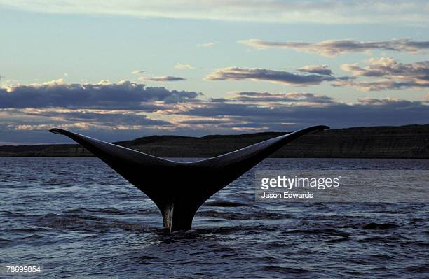 An endangered southern right whales tail flukes rise into the air.