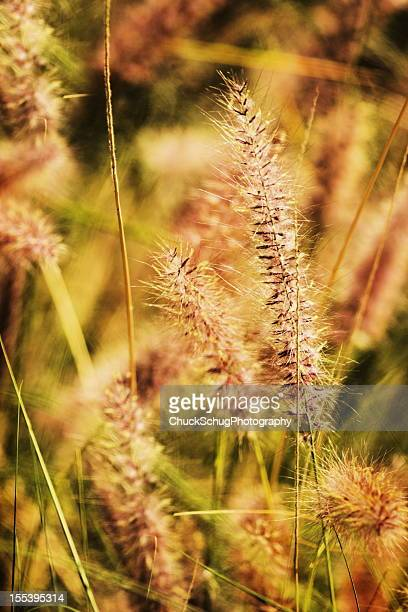 Pennisetum setaceum Purple Fountain Grass