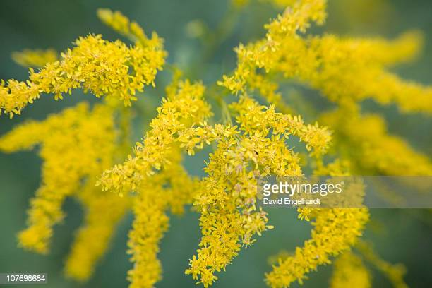 usa, pennsylvania, golden rod (solidago virgaurea minuta) - goldenrod stock pictures, royalty-free photos & images
