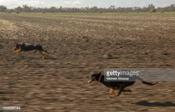 Penny McIntosh takes a a couple of the farm's kelpie dogs for a good run; a good working dog can do the work of 2 or 3 people. On July 6, 2018 in...