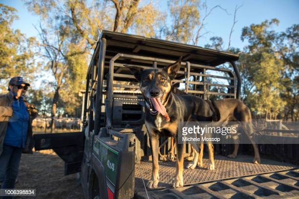 Penny McIntosh with a couple of the farm's kelpie dogs; a good working dog can do the work of 2 or 3 people. On July 5, 2018 in Moree, Australia....
