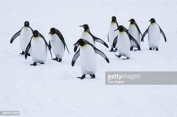 Penquins in Snowstorm