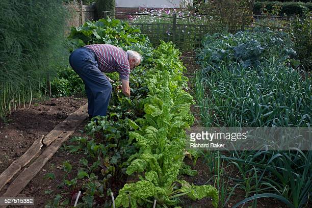 A pensioner stoops to lift homegrown beetroot in his Somerset back garden The homegrown organic crops have been sown and nurtured on this...