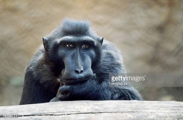 Pensive celebes crested macaque