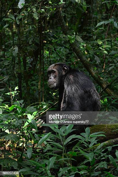 Pensive chimpanzee on the forest floor.