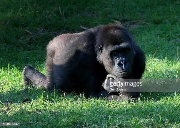 pensive gorilla - gorilla hand stock photos and pictures
