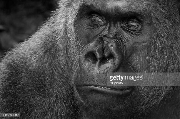 pensativo leader (gorila de las llanuras - gorila lomo plateado fotografías e imágenes de stock