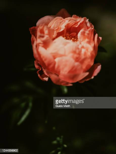 peonie in full blossom outdoor. - guido mieth stock pictures, royalty-free photos & images