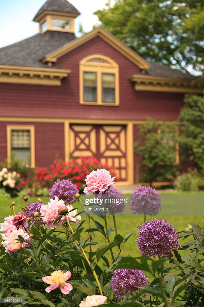 Peonies in garden : Stock Photo