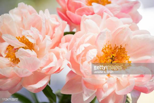 peonies - flowering plant stock pictures, royalty-free photos & images