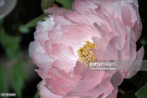 peony, close up - 一月 stock pictures, royalty-free photos & images