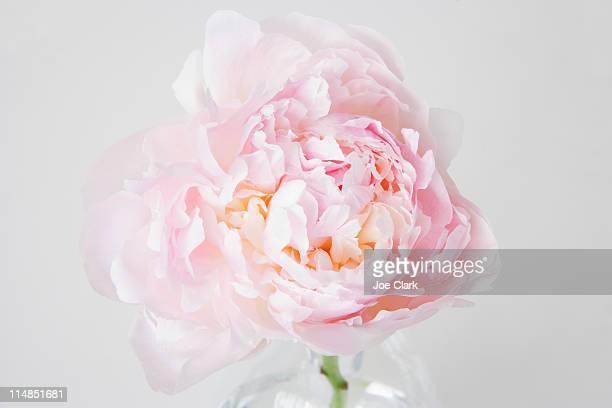 Peony flower in bloom