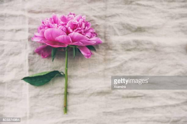Pfingstrose Blüte auf rustikalen Tuch Hintergrund