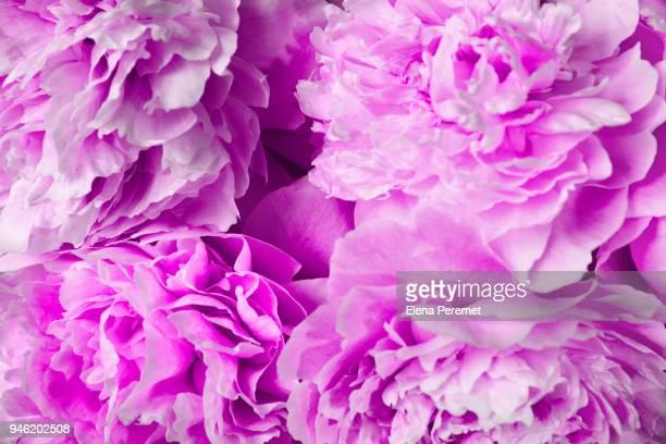 peony flowers - elena blume stock-fotos und bilder