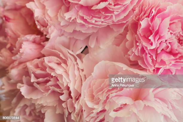 peony flowers taken directly from above - kleurtoon stockfoto's en -beelden