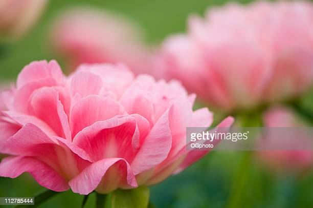 peony garden - ogphoto stockfoto's en -beelden