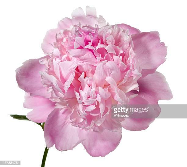 ピオニー'Mons ます。ジュール Elie'(Paeonia lactiflora