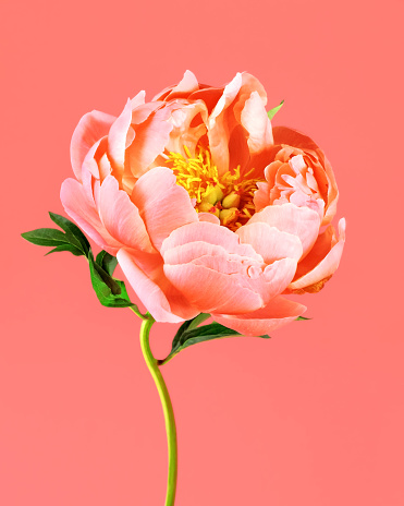 Peony on coral background - gettyimageskorea