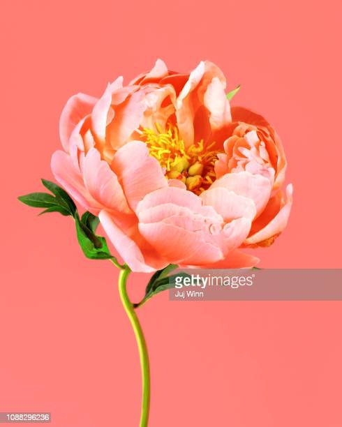 peony on coral background - blumen stock-fotos und bilder