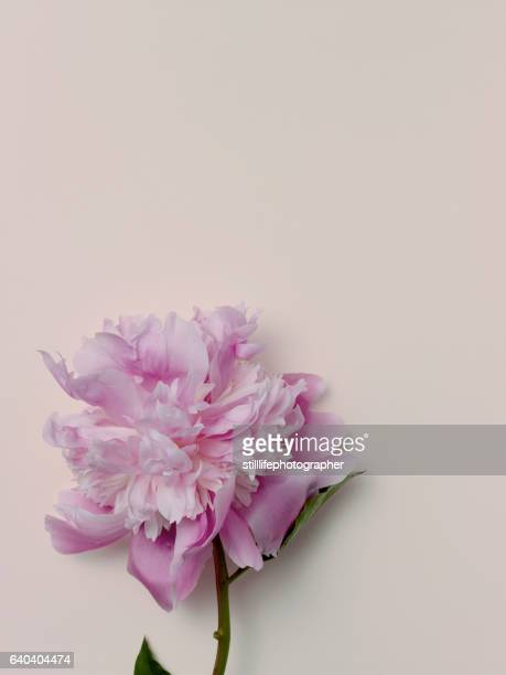 peony on light pink background - pale pink stock pictures, royalty-free photos & images