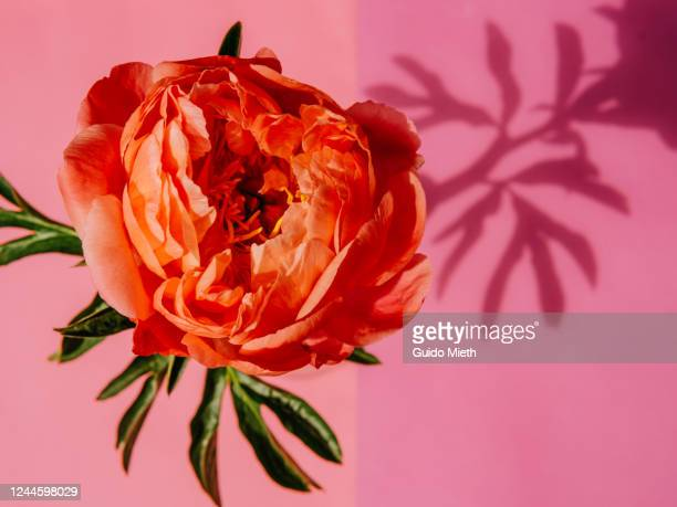peony rose in full blossom. - guido mieth stock pictures, royalty-free photos & images