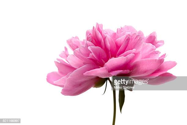 Peony with white background