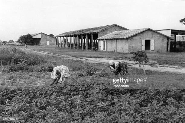 circa 1960 Gambian women working on the land farming groundnuts the principal export