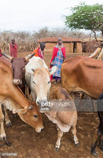 people and cattle an early morning in maasai village. - eastern african tribal culture stock photos and pictures