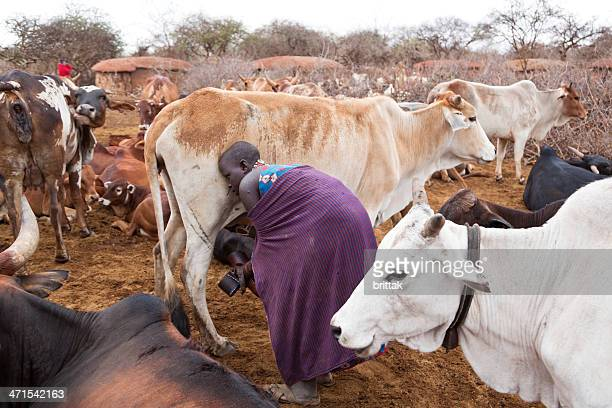 people and cattle an early morning in maasai village. - man milking woman stock photos and pictures