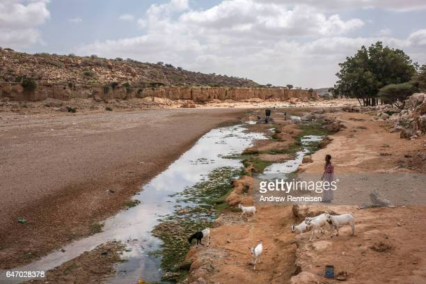 People and livestock gather at a nearly dried up riverbed on February 24 2017 in Dhudo Somalia People travel up to 75 kilometers to get water as it...