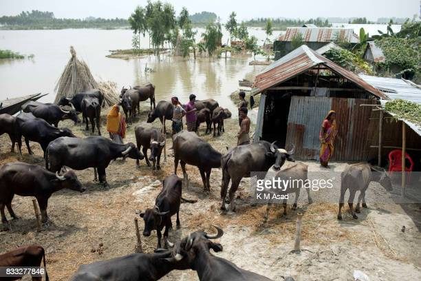 SARIAKANDHI BOGRA DHAKA BOGRA BANGLADESH People and livestock gathered on high ground during flooding at Sariakandhi Bogra Peoples suffering...