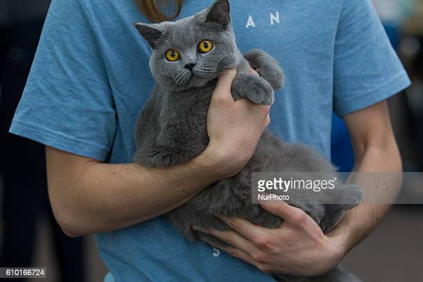 People and their cats can be seen attending the International Cat Show in Hala Lucznicka Bydgoszcz Poland on September 24 2016 Cats compete for...