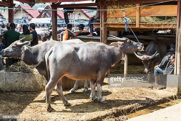 People and water buffaloes at the Bolu livestock market Rantepao Toraja Land South Sulawesi Indonesia