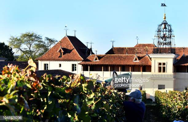 People are at work during the harvest of the Chateau Angelus Saint Emilion vineyard on October 4 2018 in SaintEmilion