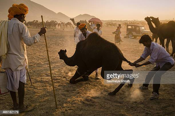 CONTENT] People are trying to pull down the camel at Pushkar fair in Rajasthan