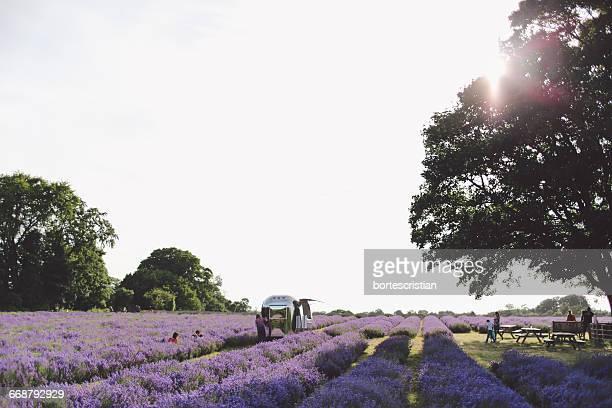 people at lavender farm against clear sky - bortes stockfoto's en -beelden