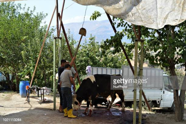 People butcher a sacrificial animal on the first day of Eid alAdha in southern Kahramanmaras province of Turkey on August 21 2018