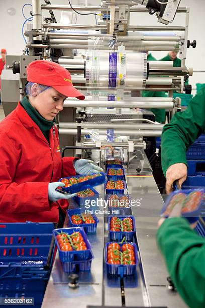 People checking and packing tomatoes in the packaging room The Cornerways tomato nursery is the largest greenhouse in the UK It is attached to the...