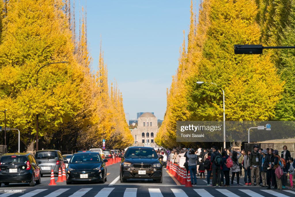 People come here for viewing rows of autumn ginkgo trees at the front of Ginkgo Tree Avenue in Jingu Gaien, Chhiyoda Ward, Tokyo Japan on November 26 2017. Rows of autumn leaves ginkgo trees surround the Avenue and traffics. : Stock-Foto