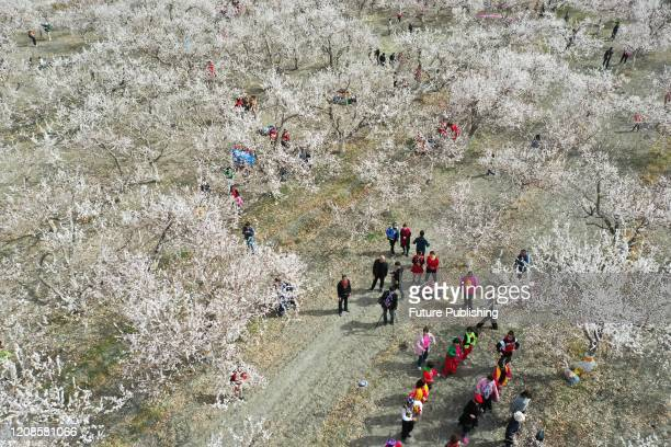 People enjoy apricot flowers in full bloom, Luntai County, Xinjiang, China, March 28, 2020.- PHOTOGRAPH BY Costfoto / Barcroft Studios / Future...