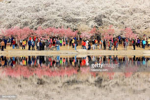 People enjoy cherry blossom at Yuyuantan Park on March 31 2018 in Beijing China Yuyuantan Park holds the 30th cherry blossom festival in Beijing