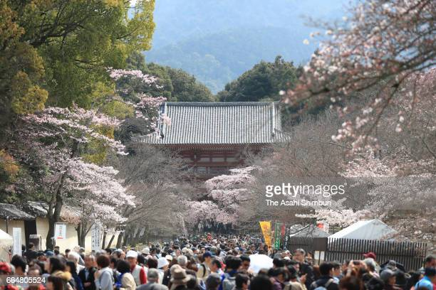 People enjoy cherry blossom in bloom at Daigoji Temple on April 5 2017 in Kyoto Japan