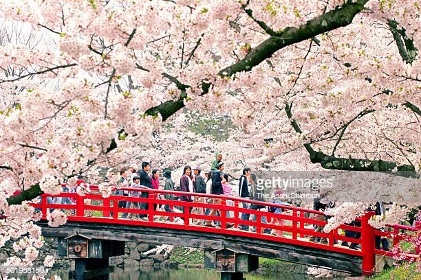 People enjoy cherry blossom in full bloom at Hirosaki Park on May 6 2006 in Hirosaki Aomori Japan
