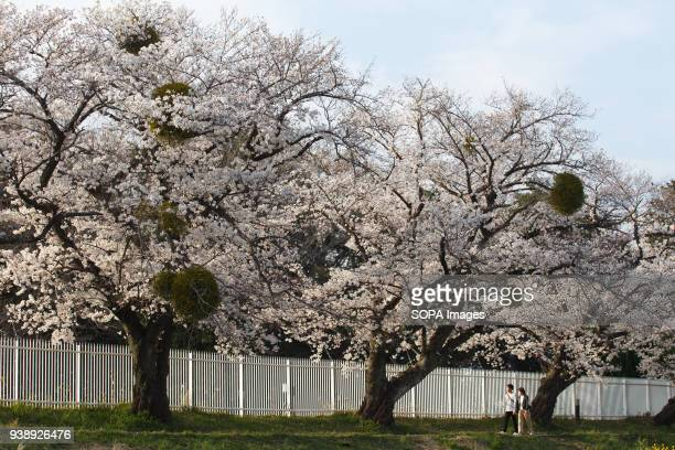 LEVEE TOYOKAWA AICHI JAPAN People enjoy cherry blossoms at the riverside at Toyokawa The Cherry blossom also known as Sakura in Japan normally peaks...