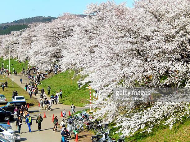People enjoy cherry blossoms in bloom along with Shirakawagawa river on April 9 2015 in Ogawara Miyagi Japan