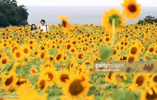 People enjoy fully bloomed sunflowers on August 20, 2018 in Bungotakada, Oita, Japan.