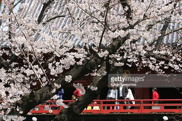 People enjoy the cherry blossoms at Tokyo's Ueno park on March 27 2006 in Tokyo Japan The bloom of the cherry blossoms are 7 days earlier than the...