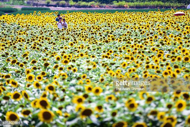 People enjoy the fully bloomed sunflowers on June 29 2014 in Tosa Kochi Japan